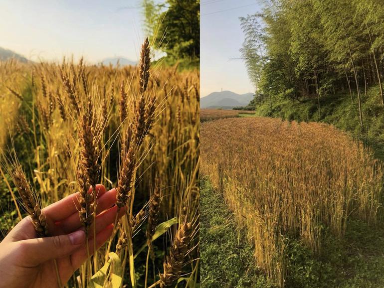 麦の穂が黄金色に色づき、いよいよ収穫。茅葺屋根の茅にするには茅の高さが90センチ以上あることが望ましいそうです。