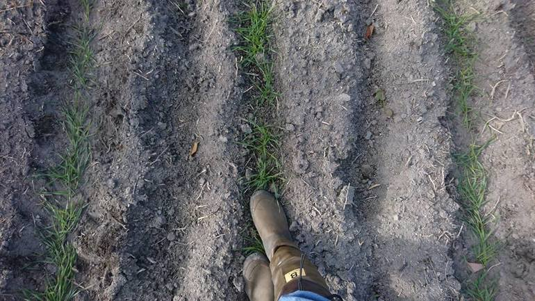 麦踏みの様子。芽の段階で数回踏んであげることによって強い芽が育ちます。