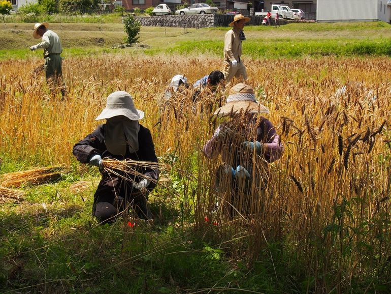 麦収穫作業の様子。かなりの量だったため、大変な作業となりました。